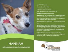 Today's l'il leprechaun rescue is Hannah! #jackrussell #rescue #sponsor #adopt