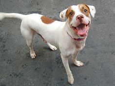 SAFE --- TO BE DESTROYED - 08/29/14 Manhattan Center   My name is KELLY. My Animal ID # is A1011784. I am a male white and brown pit bull mix. The shelter thinks I am about 1 YEAR   I came in the shelter as a STRAY on 08/25/2014 from NY 11691, owner surrender reason stated was STRAY.   https://www.facebook.com/photo.php?fbid=861704033842477