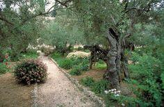 The Garden of Gethsemane - at the foot of Mount of Olives, Jerusalem.