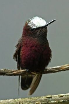 Snow-cap is a small hummingbird