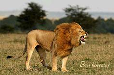 Lion Roar at Maasai Mara Courtesy of Ben Forester