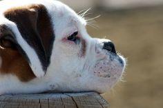 Do Dogs Get Depressed?