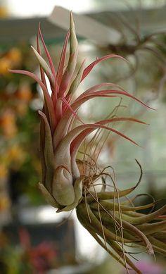 Air Plant - Caput Medusa (Tillandsia) (Caput Medusae  X  Paucifolia). $3.95, via Etsy.
