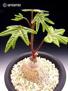 Adenia stenodactyla: