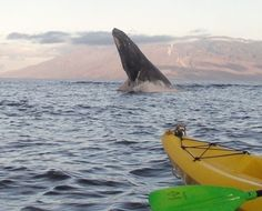 Humpback Whale watching tours on Maui, if you are here in the winter this is a must-do!