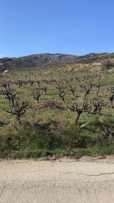 Κλάδεμα μαύρη κορινθιακή σταφίδα!!! Vineyard, Mountains, Nature, Travel, Outdoor, Outdoors, Naturaleza, Viajes, Trips