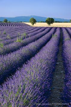 lavender fields in Provence, France. I want to see this one day.  On my fun list.:)