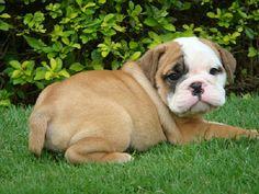 british bulldog puppies images   Zoe Fans Blog