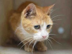 "JUNO - A1077007 - - Staten Island  Please Share:   **TO BE DESTROYED 06/15/16** June is ""Adopt A Shelter Cat Month,"" so the ACC is celebrating that by planning to kill 27 cats tomorrow. Yes, the agency who says ""We have been matching pets with people for over 17 years, and when you visit one of our Care Centers, our staff and volunteers will work with you to try to find your perfect loyal companion"" on their website is actually NOT DOING THAT for JUP"