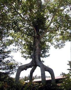 Amazing Trees -  dancing  www.liberatingdivineconsciousness.com www.facebook.com/loveswish