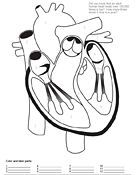 Human Heart Coloring Pictures For