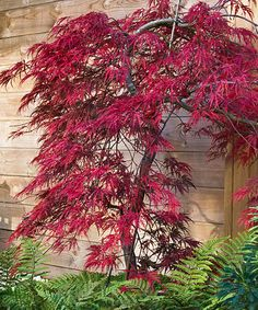 Japanese 'Tamukeyama' Maple Tree -  'Tamukeyama' grows wider than it does tall for a cascading, dome-shaped spectacle. Spring foliage emerges in lace-leafed, purplish-red hues with tiny, crimson flowers, then turns to a deep fiery-red in the fall. Easy to maintain, this tree is rarely bothered by insects, heat, humidity or air pollution, and lends itself to small city gardens. -  Grows to 4' to 6' H -  Spread: 4' to 6' -  Perennial -  Deciduous -  Full to partial sun -  Hardiness zones: 5-9