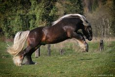 Love the dappled liver Chestnut with flaxen mane and tail! Big Horses, Types Of Horses, Horse Love, Most Beautiful Horses, Pretty Horses, Animals Beautiful, Clydesdale, Cleveland Bay, Akhal Teke