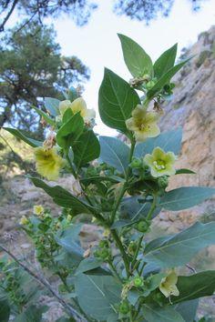 BioScripts | Flora Vascular | Atropa baetica (Julián Fuentes Carretero)