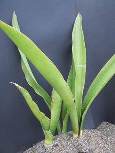 Sansevieria trifasciata nelsonii sansevieria trifasciata for Dekor von zierpflanzen