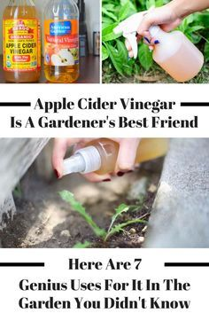 are so many great uses for apple cider vinegar in the garden. Spray some apple cider vinegar in your garden and the incredible liquid will help you get rid of fruit flies and weeds. Apple cider vinegar is a great tool for beginners to get started on their Diy Garden, Garden Tools, Garden Edging, Natural Pesticides, Apple Vinegar, Fruit Flies, Palmiers, Organic Gardening Tips, Gardening Hacks