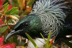 NZ Birds -Tui Stroppy, territorial bird