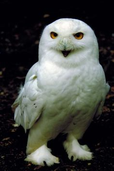 There are a pair of Snowy Owls at Harewood, easily recognisable by its yellow-eyes, black beak and white feathers. Harewood House, Yellow Eyes, White Feathers, Snowy Owl, Gods Creation, Bird Species, Beautiful Boys, Yorkshire, Owls