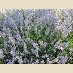 Lavandula intermedia 'Provence' - Shrubs - Plant Type - Boething Treeland Farms