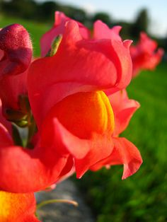 Snapdragon close up