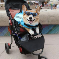 """Jojo, Pembroke Welsh Corgi, Imperial Beach ▪ """" He's bummed out that he had to back out from the surf competition because of his surgery but he'll be back and be even better and stronger."""" #imperialbeachlocals #sandiegoconnection #sdlocals #iblocals - posted by The Dogumentor  https://www.instagram.com/thedogumentor. See more post on Imperial Beach at http://imperialbeachlocals.com"""