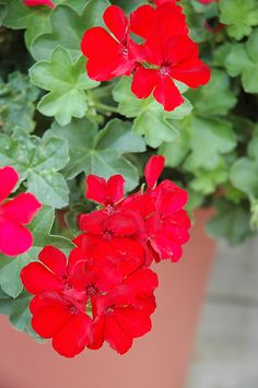 'Calliente Deep Red' Calliope