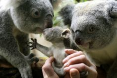 Duisburg, Germany {} A six-month-old still nameless baby koala looks at its parents at the zoo in Duisburg, Germany. The female baby was taken from its mother's pouch to be weighed. It weighed 350 grams. Baby Koala, Wombat, The Washington Post, Cute Funny Animals, Zoo Animals, Great Photos, It Hurts, Germany, Bear
