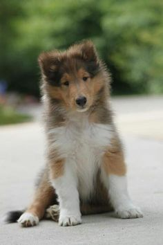 Rough collie, Collie puppies and 2 month olds on Pinterest