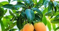 7 Medicinal Properties Of Mango Leaves That You Arent Aware Of !