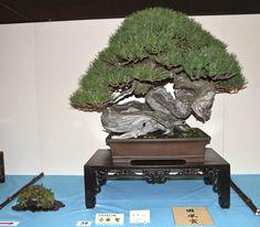Kokufu-sho Award, Japanese red pine.
