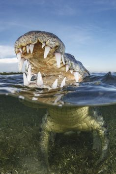 Vicious: It would take someone brave to get this close to an American crocodile but Terry ...