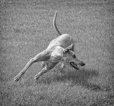 Turn by Hot Dog Photography Greyhound Art, Italian Greyhound, Beautiful Dogs, Animals Beautiful, Hound Breeds, Afghan Hound, Grey Hound Dog, Irish Wolfhound, Dogs Of The World