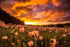 "Standing in an ""opium poppy field"" Tonight ... Sunset was definitely happy ;)…"