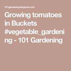 Growing tomatoes in Buckets #vegetable_gardening - 101 Gardening
