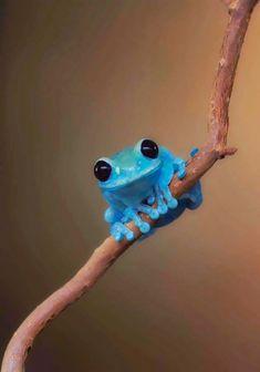"Biologia-Vida: ""Perereca de olhos rubi"" / Ruby Eyed Treefrog (Leptopelis uluguruensis)"