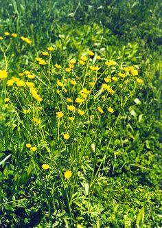 Wildflowers of Western Pennsylvania: Ranunculus acris
