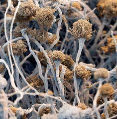 Scanned electron micoroscope (SEM) image: The fungus Aspergillus fumigatus