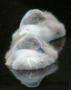 Two baby swans sleeping while floating on the water.