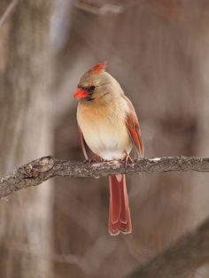 Northern Cardinal in Niagra Falls - Ontario Canada