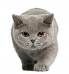 British short hair Cat SO CUTE