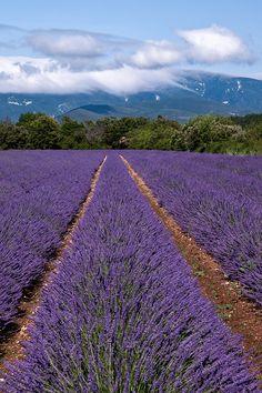 lavender-field-drome-provencale-france