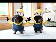 These are dachshunds...dressed as Minions!