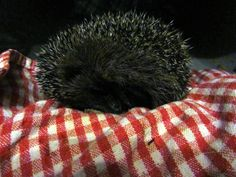 Rescued hoglet. Now residing at a wildlife hospital in Derby.