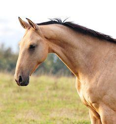 #horse #akhal #teke #oksana