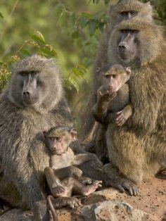 Yellow Baboons by Suzi Eszterhas, Kenya