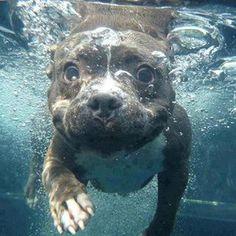 Pit Bull Puppy swimming