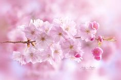 Accolade Cherry Blossom by Jacky Parker on 500px