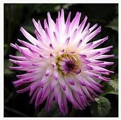 2015 New Arrival Type Ordinally Yukako Dahlia Bulbs Seeds Bonsai Plants Seeds