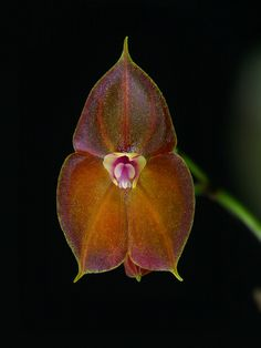 Lepanthes wendlandii