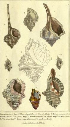 public domain seashell images